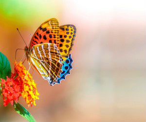 Colorful-butterfly-so-sweet-wallpaper-300x250